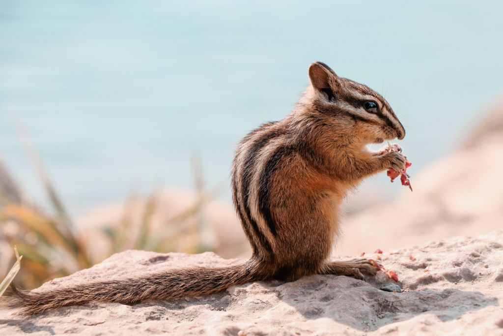 Petit écureuil d'Amérique du Nord